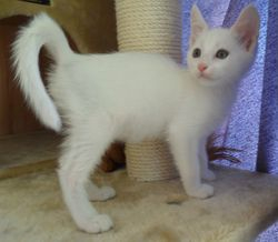 Lacey, White Shorthair Blue-eyed girl