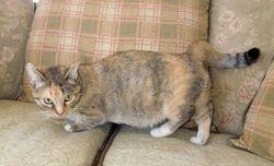 """Mimi""~Short-leg Shorthair Mitted Torbie (retired) Munchkin mom"