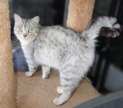 """Shasta""~Shaded Silver Longhair Persian/Ragdoll/Bengal mom (Retired)"