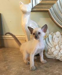 Blue Pt Male Siamese kitten