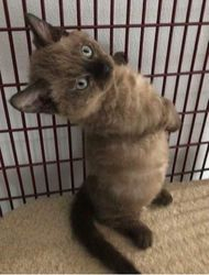 Tyrion, new Seal Mink Lambkin male-at 4 mos old