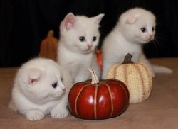 """""""Quinn""""~White shorthair Scottish Fold daddy-to-be on the right."""