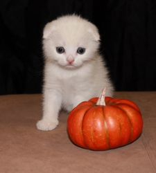 """""""Quinn""""~White shorthair Scottish Fold daddy-to-be"""