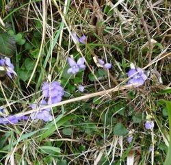 Violets on the coastal footpath