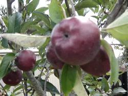 Apples in NZ