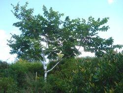 """Grafted Heartnut Tree """"Imshu"""""""