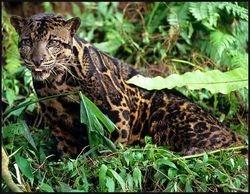 Bornean clouded leopard or Neofelis Diardi.