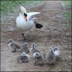 Swan teaching the hokey pokey