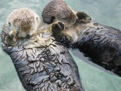 Sea otters hold hands when they sleep so the don't drift away.
