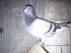 taiwan cock
