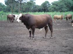 San Ignacio Bull (Tuli x Simmental/Red Angus)