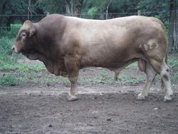 San Ignacio Bull (Tuli x Blonde D'Aquitaine)