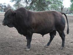 Fullblood Tuli Bull