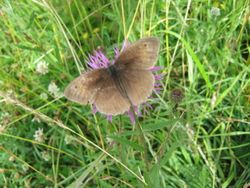 Meadow Brown (old)