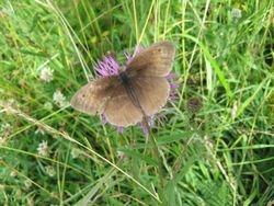 Meadow Brown (old)