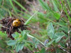 Ladybird and Larvea