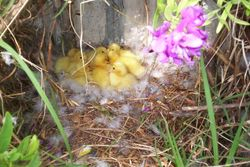 Some baby ducklings