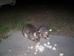 Our pet possums