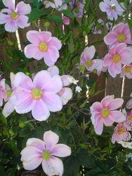 anemones, japanese windflowers