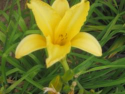 day lillies these are great eating