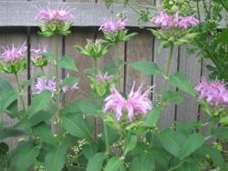 bergamont in flower... so pretty