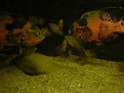 Astronotus ocellatus pair with fry.Nikola's aquarium