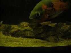 Astronotus ocellatus,female with fry.Nikola's aquarium