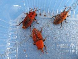Rhynchophorus ferrugineus (red palm weevil)