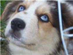 FANCEE'S BLUE EYED BOY