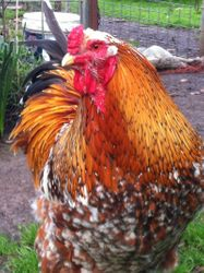 Blue Speckled Rooster