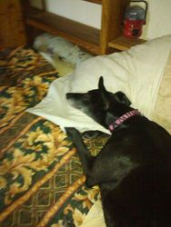 Lizzie Guarding the pillows!