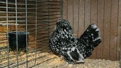 Mottled Hen