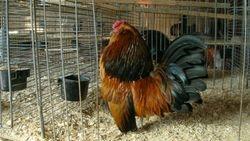 Quail Cock