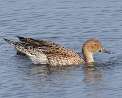 Blue Winged Teal Duck - female