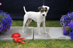 """Class 5 12 1/2""""-15"""" Smooth/Rough/Broken Coated Dog Pup 6-9 Months"""