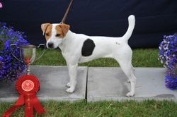 """Class 14 12 ½""""-15"""" Smooth/Rough/Broken Coated Bitch Pup (9-12 months old)"""