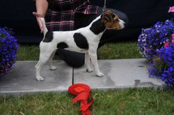 """Class 9 10""""-12 ½ """"Smooth/Rough/Broken Coated Bitch pup (6-9 months old)"""