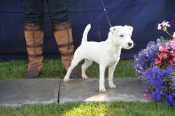 """Class 1 10""""-12 1/2"""" Smooth/Rough/Broken Dog Pup 6-9 months old"""