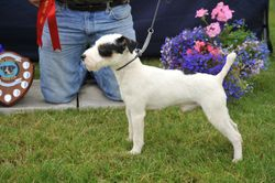 """Class 6 12 1/2""""-15"""" Smooth/Rough/Broken Coated Dog Pup 9-12 months"""