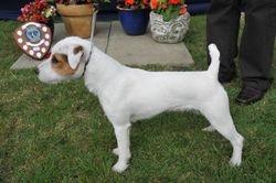 """Class 4 12 1/2 - 15"""" Dog Pup (6-12 Months)"""