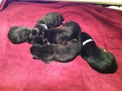 Makita/Stryker Puppies