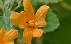 Kaura flower