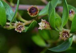 Ngea flower