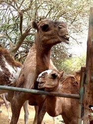 Safari, Camel ride