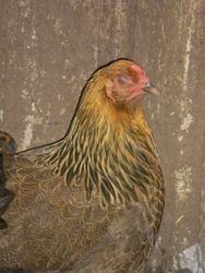 Partridge  Brahma pullet