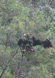 Eagle in tree wings out