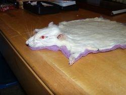 Albino Rat Mat...