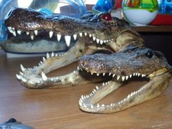 Gator Heads from florida