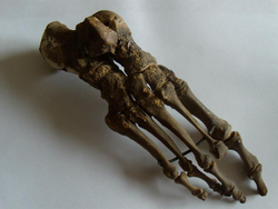Human Skeletal Foot