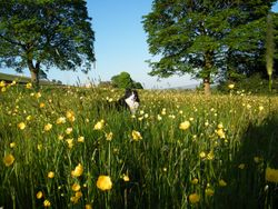 Molly Colly in the Buttercups of Blacko
